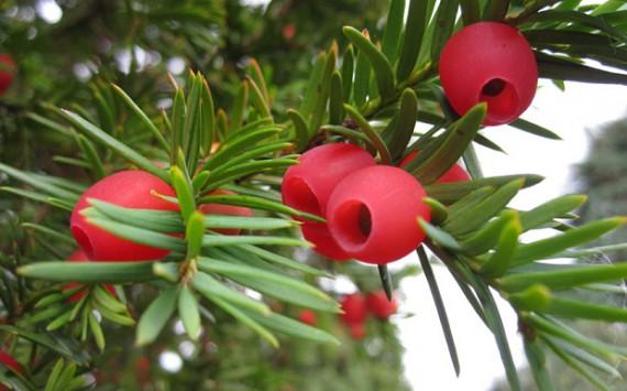 """五千年古树突然""""变性""""并结出鲜红浆果"""