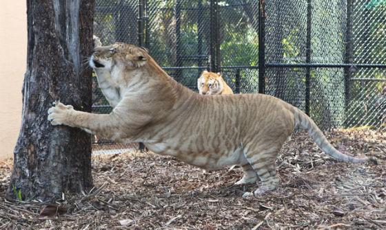1000斤的巨型狮虎兽你见过吗?战斗力惊人